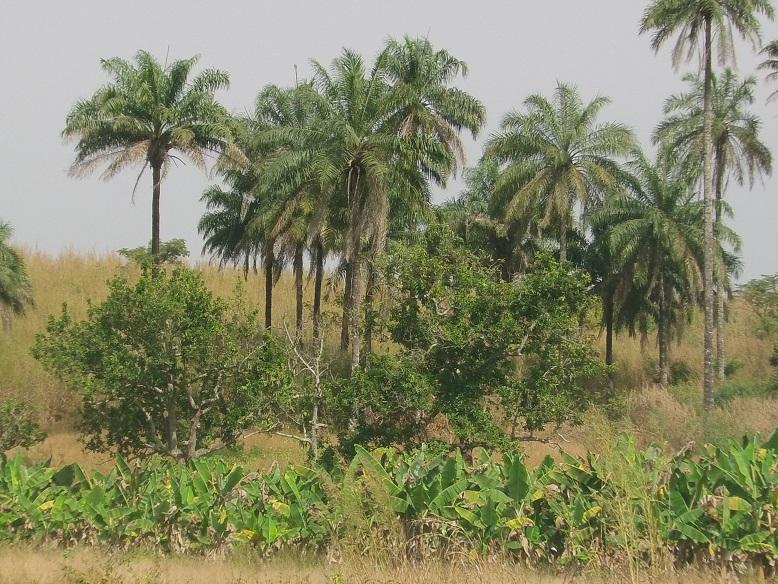 Bananen, Palmen